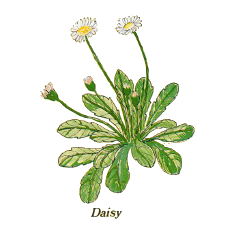 Daisy (Norfolk Punch)