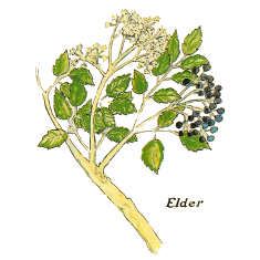Elderflower (Norfolk Punch, Fructus Bendictus, Ginger Bliss)