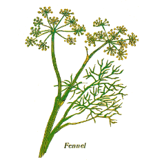 Fennel (Norfolk Punch)