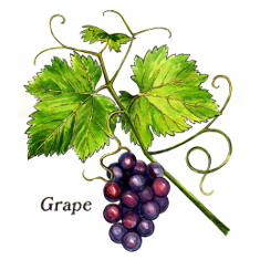 Grapeskin (Norfolk Punch, Fructus Benedictus, Hearts Delight)