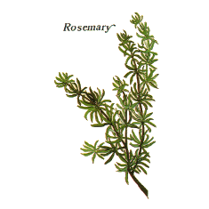Rosemary (Norfolk Punch)